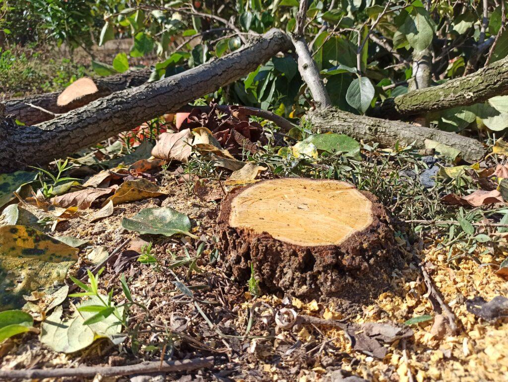 Corte y tala de árboles con motosierra